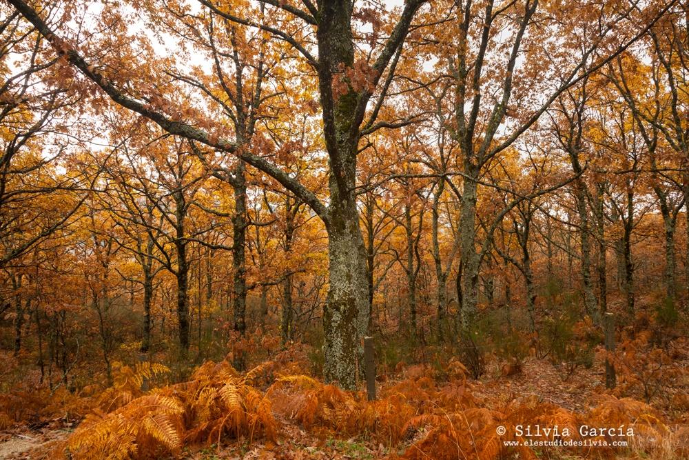 otoño en la sierra de guadarrama, Canencia, robles, Sierra de Guadarrama, foto+natura, curso de fotografía, curso de naturaleza